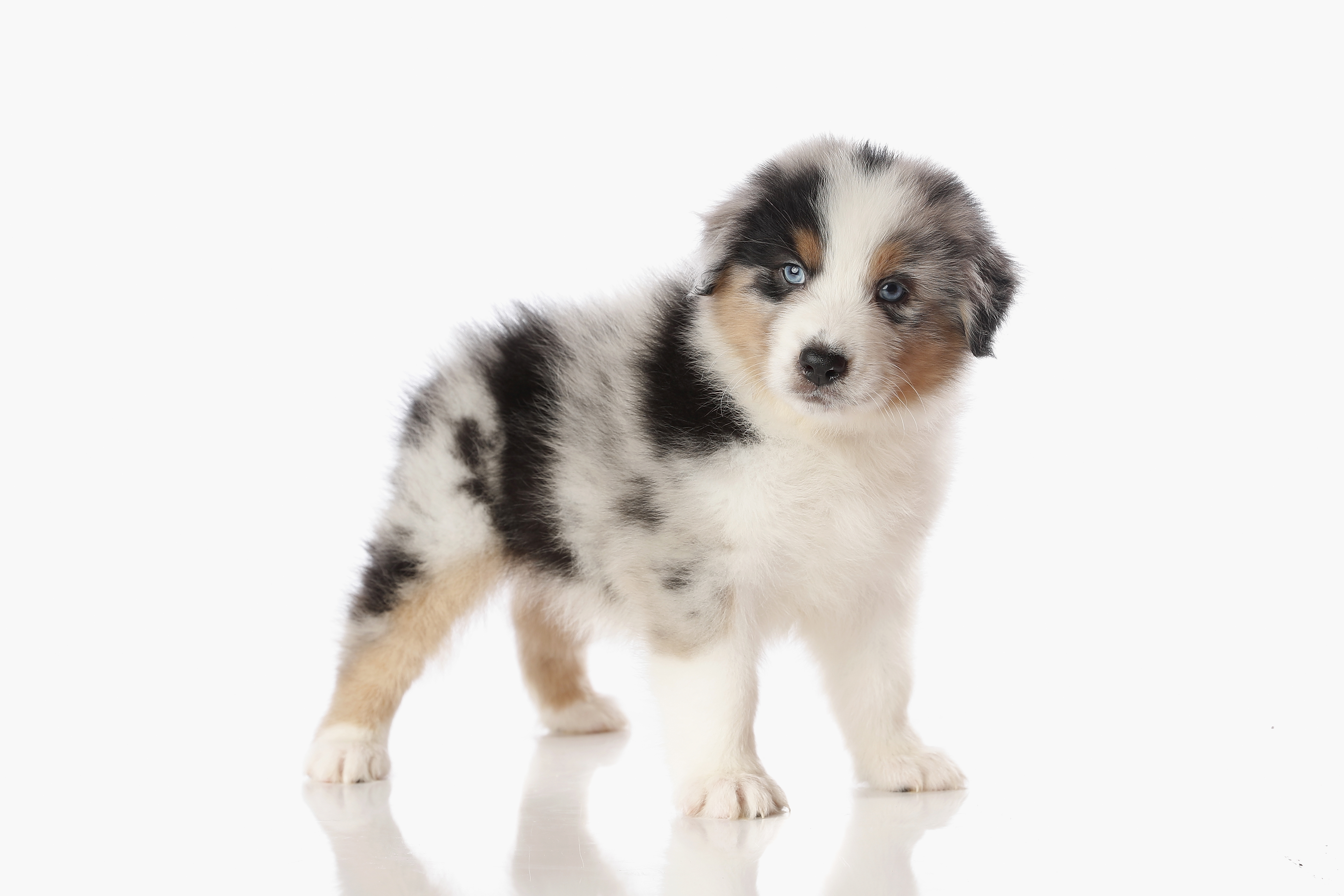 Red Merle Male Australian Shepherd Puppy #1 1 day