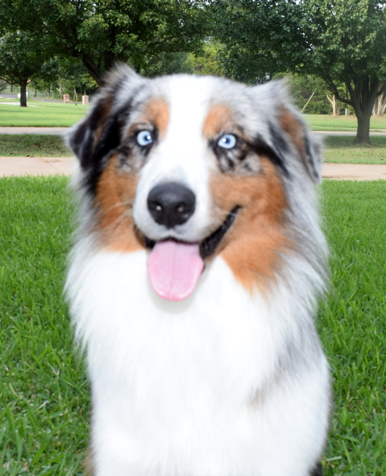 Blue Merle Australian Shepherd Blue Eyes Male Full white collar